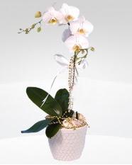 1 dallı orkide saksı çiçeği  Giresun online çiçek gönderme sipariş