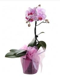 1 dal pembe orkide saksı çiçeği  Giresun çiçekçiler