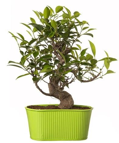 Ficus S gövdeli muhteşem bonsai  Giresun yurtiçi ve yurtdışı çiçek siparişi