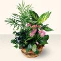 Giresun çiçek online çiçek siparişi  5 adet canli çiçek sepette