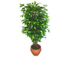 Ficus Benjamin 1,50 cm   Giresun ucuz çiçek gönder