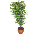Ficus özel Starlight 1,75 cm   Giresun çiçek gönderme