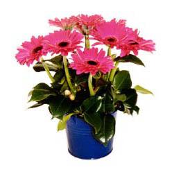 vazo içerisinde gerbera çiçekleri   Giresun çiçek yolla