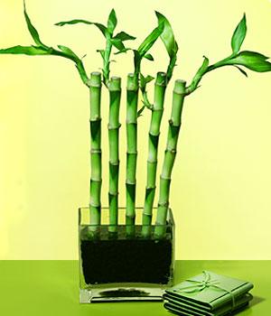 Giresun ucuz çiçek gönder  Good Harmony Lucky Bamboo camda