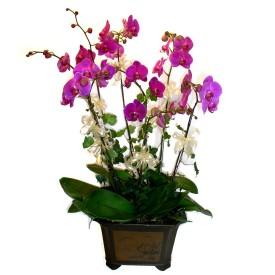 Giresun çiçek gönderme  4 adet orkide çiçegi