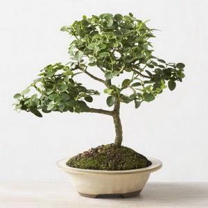 ithal bonsai saksi çiçegi  Giresun çiçekçi mağazası