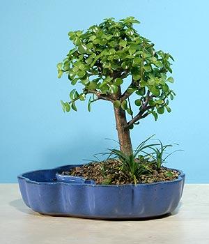 ithal bonsai saksi çiçegi  Giresun çiçek yolla , çiçek gönder , çiçekçi