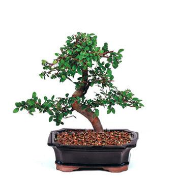 ithal bonsai saksi çiçegi  Giresun çiçek gönderme sitemiz güvenlidir