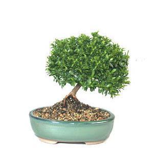ithal bonsai saksi çiçegi  Giresun çiçekçi telefonları
