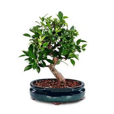 ithal bonsai saksi çiçegi  Giresun yurtiçi ve yurtdışı çiçek siparişi