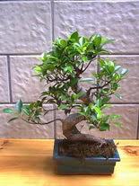 ithal bonsai saksi çiçegi  Giresun hediye çiçek yolla