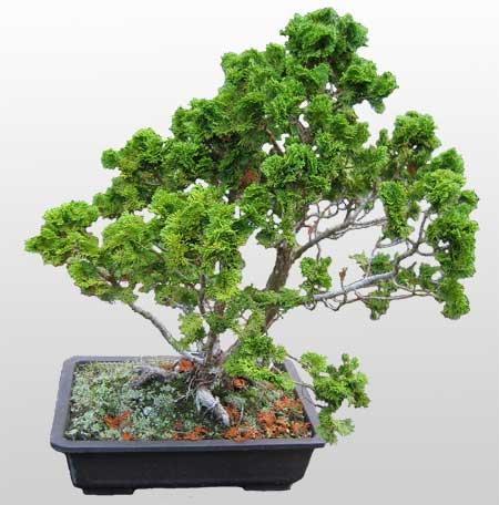 ithal bonsai saksi çiçegi  Giresun cicekciler , cicek siparisi