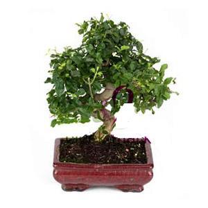 ithal bonsai saksi çiçegi  Giresun ucuz çiçek gönder