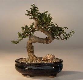 ithal bonsai saksi çiçegi  Giresun çiçek , çiçekçi , çiçekçilik