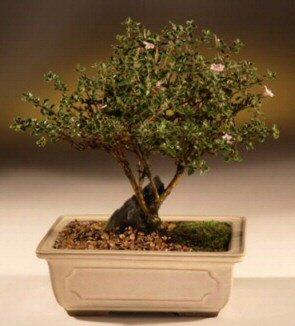 ithal bonsai saksi çiçegi  Giresun internetten çiçek satışı