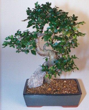 Giresun uluslararası çiçek gönderme  ithal bonsai saksi çiçegi  Giresun yurtiçi ve yurtdışı çiçek siparişi