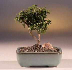 Giresun 14 şubat sevgililer günü çiçek  ithal bonsai saksi çiçegi  Giresun online çiçekçi , çiçek siparişi