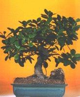 Giresun hediye sevgilime hediye çiçek  ithal bonsai saksi çiçegi  Giresun İnternetten çiçek siparişi