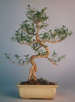 Giresun çiçek online çiçek siparişi  ithal bonsai saksi çiçegi  Giresun çiçek gönderme sitemiz güvenlidir