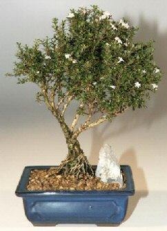 Giresun çiçek servisi , çiçekçi adresleri  ithal bonsai saksi çiçegi  Giresun çiçek yolla
