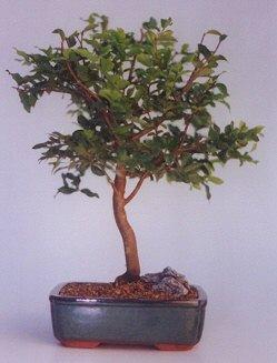 Giresun çiçek mağazası , çiçekçi adresleri  ithal bonsai saksi çiçegi  Giresun ucuz çiçek gönder
