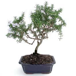 ithal bonsai saksi çiçegi  Giresun hediye sevgilime hediye çiçek