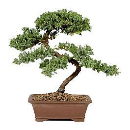 ithal bonsai saksi çiçegi  Giresun uluslararası çiçek gönderme