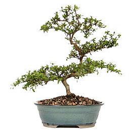Giresun cicekciler , cicek siparisi  ithal bonsai saksi çiçegi  Giresun uluslararası çiçek gönderme