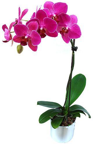 Giresun güvenli kaliteli hızlı çiçek  saksi orkide çiçegi