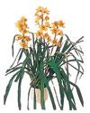 Giresun çiçek yolla , çiçek gönder , çiçekçi   Orchiede ithal büyük boy saksi