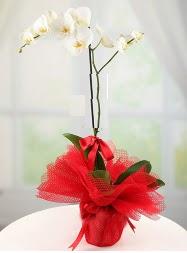 1 dal beyaz orkide saksı çiçeği  Giresun çiçek siparişi vermek