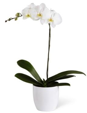 1 dallı beyaz orkide  Giresun çiçek , çiçekçi , çiçekçilik