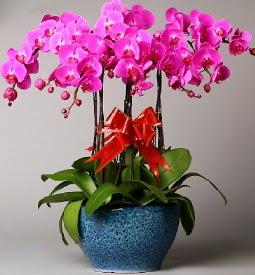 7 dallı mor orkide  Giresun çiçekçi mağazası