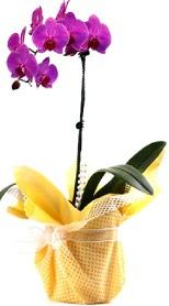 Giresun yurtiçi ve yurtdışı çiçek siparişi  Tek dal mor orkide saksı çiçeği