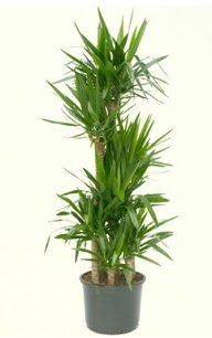 7 li yucca saksı bitkisi  Giresun çiçek siparişi sitesi