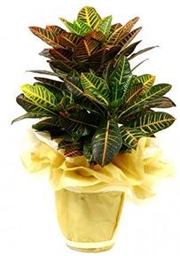 Orta boy kraton saksı çiçeği  Giresun çiçek , çiçekçi , çiçekçilik