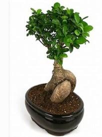 Bonsai saksı bitkisi japon ağacı  Giresun yurtiçi ve yurtdışı çiçek siparişi