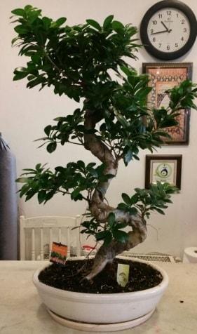 100 cm yüksekliğinde dev bonsai japon ağacı  Giresun cicekciler , cicek siparisi