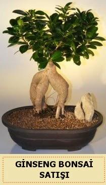 İthal Ginseng bonsai satışı japon ağacı  Giresun yurtiçi ve yurtdışı çiçek siparişi