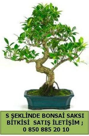 İthal S şeklinde dal eğriliği bonsai satışı  Giresun anneler günü çiçek yolla