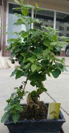 Bonsai japon ağacı saksı bitkisi  Giresun çiçek gönderme sitemiz güvenlidir