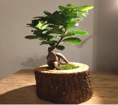 Doğal kütükte Bonsai japon ağacı satışı  Giresun online çiçekçi , çiçek siparişi