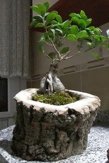 Ahşap kütük içerisinde ginseng bonsai  Giresun İnternetten çiçek siparişi