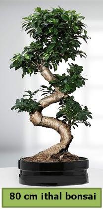 80 cm özel saksıda bonsai bitkisi  Giresun hediye sevgilime hediye çiçek