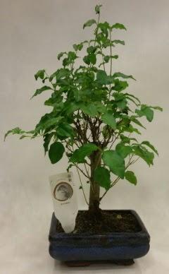 Minyatür bonsai japon ağacı satışı  Giresun hediye sevgilime hediye çiçek