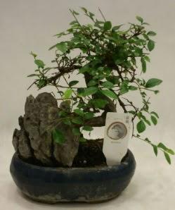 İthal 1.ci kalite bonsai japon ağacı  Giresun çiçek online çiçek siparişi