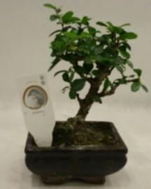 Küçük minyatür bonsai japon ağacı  Giresun anneler günü çiçek yolla