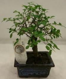 Minyatür ithal japon ağacı bonsai bitkisi  Giresun çiçek online çiçek siparişi