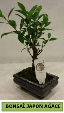 Bonsai japon ağacı saksı bitkisi  Giresun çiçek siparişi sitesi
