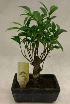 Japon ağacı bonsai bitkisi satışı  Giresun hediye sevgilime hediye çiçek
